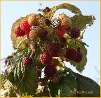 Azuraliveraspberry1