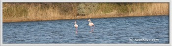 Flamants_1